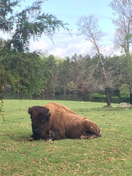 Bison at NC Zoo